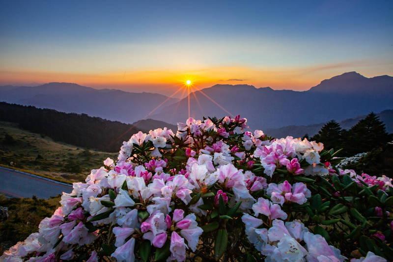 合歡山花季玉山杜鵑、紅毛杜鵑接力盛開,再搭配日出、夕陽、銀河等景致,美不勝收,也成人氣景點。(南投縣政府提供)