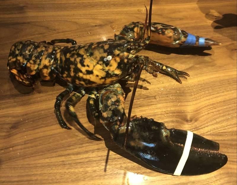 美國知名連鎖「紅龍蝦餐廳」,近日發現了相當罕見的藍紋龍蝦(見圖)。(圖取自Red Lobster Facebook)