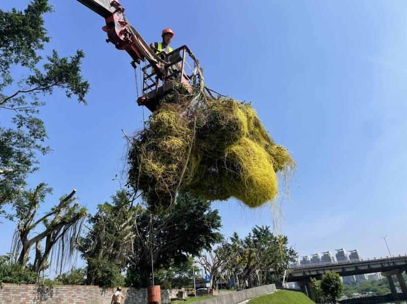觀旅局雇工緊急清除碧潭風景區周遭的「日本菟絲子」。(觀旅局提供)
