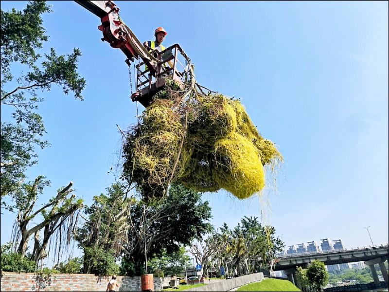 新北市觀旅局緊急僱工清除碧潭風景區周遭大批的「日本菟絲子」。(觀旅局提供)