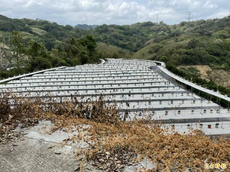 大湖草莓農抗旱,育苗採滴灌用水量從80噸減少到2噸。(記者蔡政珉攝)