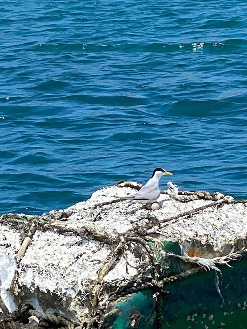 小燕鷗產卵在箱網旁保麗龍浮箱產卵,相當罕見。(民眾提供)