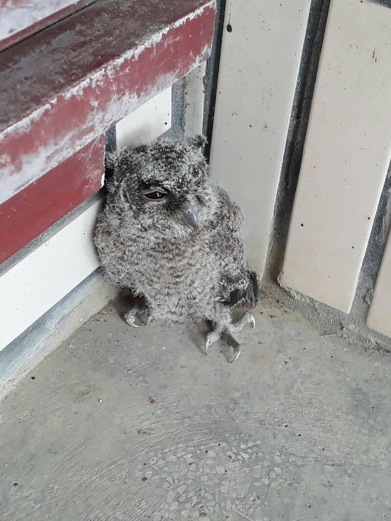 保育類領角鴞幼鳥蜷縮在國立苗栗高商學務處前牆角,一臉萌樣,學生看了直呼「卡哇伊」。(記者張勳騰翻攝)