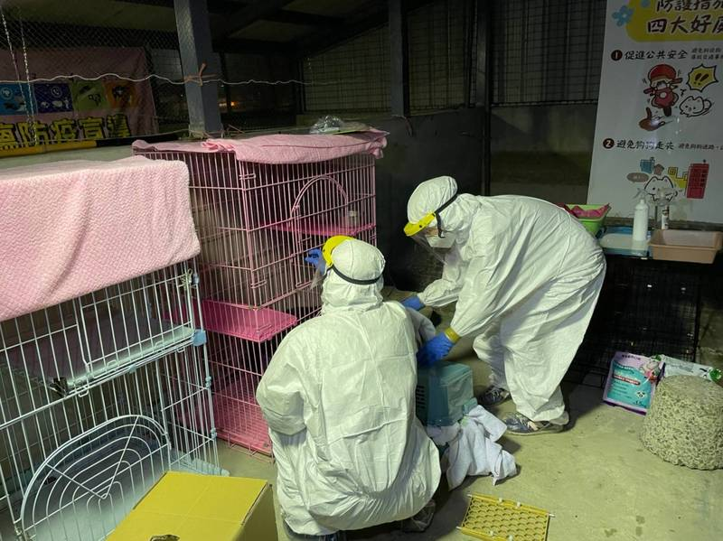 台北市動保處昨接獲衛生局通知,稱確診者及家人皆染疫住院,其家中飼有1隻貓無人照顧,隨即啟動確診案例的狗貓安頓配套機制。(台北市動保處提供)
