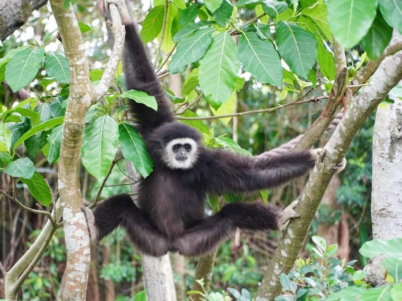台北市立動物園的白手長臂猿。(資料照,台北市立動物園提供)