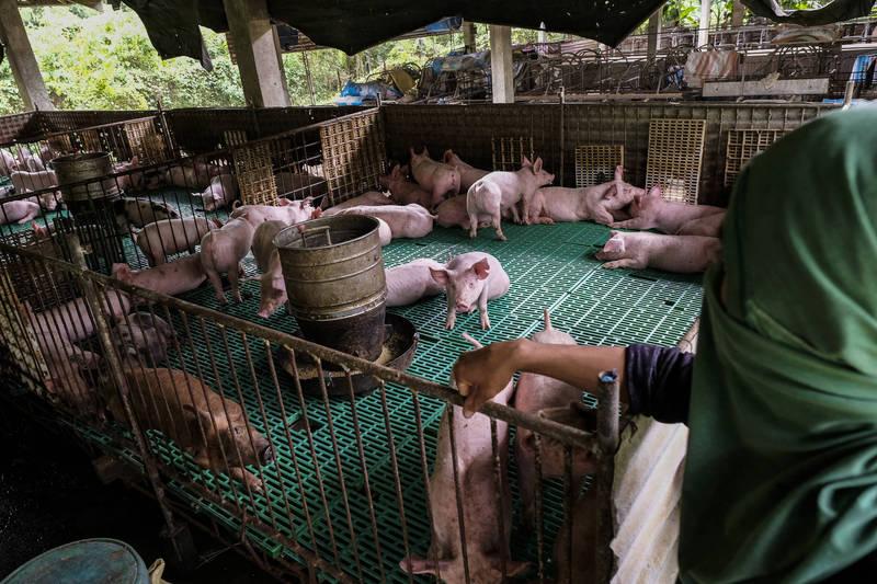 菲律賓爆發嚴重非洲豬瘟,危害養豬產業,總統杜特蒂下令進入國家級災害狀態。(彭博)