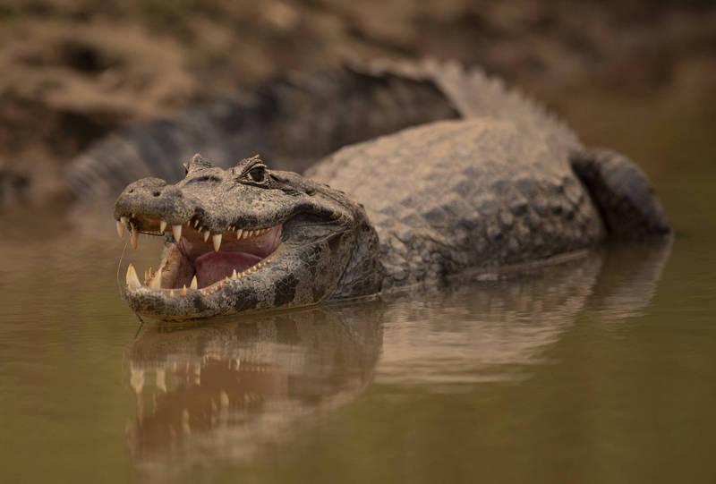 李釣魚時碰到一隻鱷魚,趕緊落荒而逃,全程畫面被錄下並在Youtube公開影片。圖與新聞事件無關,示意圖。(美聯社)