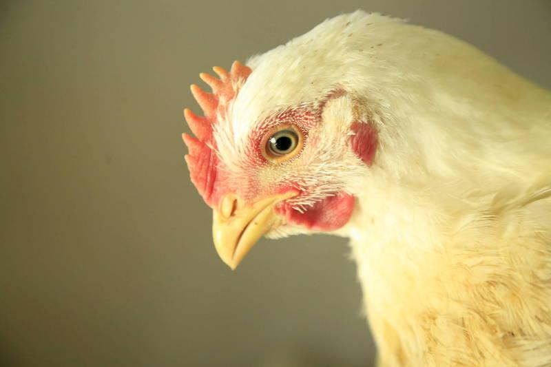 雞隻示意圖。(歐新社)