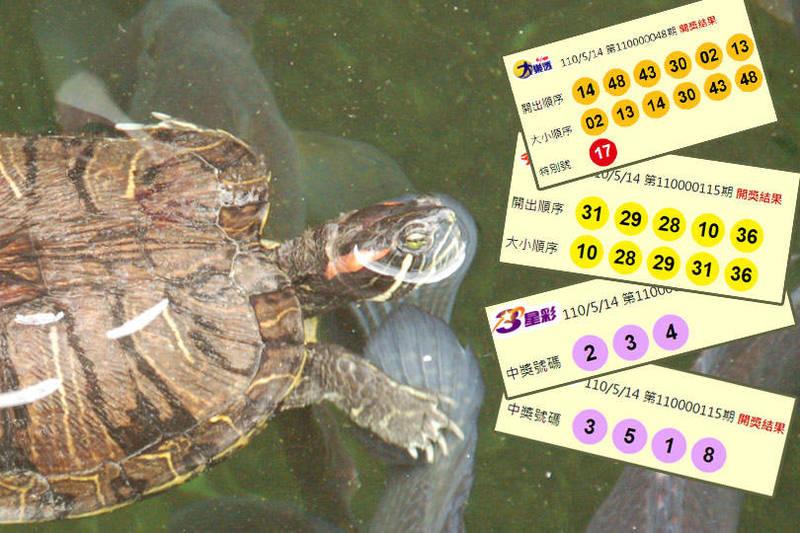 今晚(5月14日)開獎的第110000048期大樂透、第110000115期今彩539、第110000115期雙贏彩,頭獎均摃龜。(圖擷取自台灣彩券官網、資料照;本報合成)