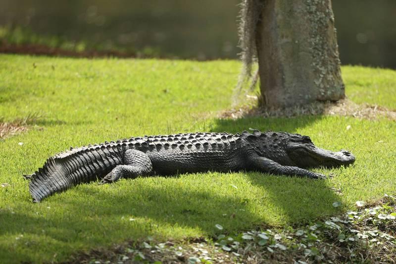 日前美國佛州傳出有短吻鱷襲擊散步民眾的寵物事件,民眾不顧安危下水救寵物。示意圖,非當事照。(法新社)