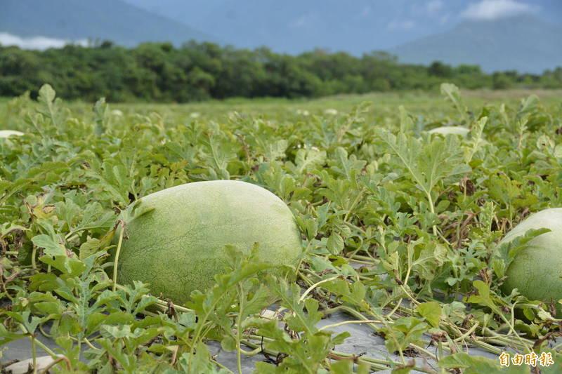 花蓮大西瓜己開始採收上市,今年西瓜結實生長期間氣候合宜,品質表現比往年更優良,保有「沙、甜、脆」口感。(記者王峻祺攝)