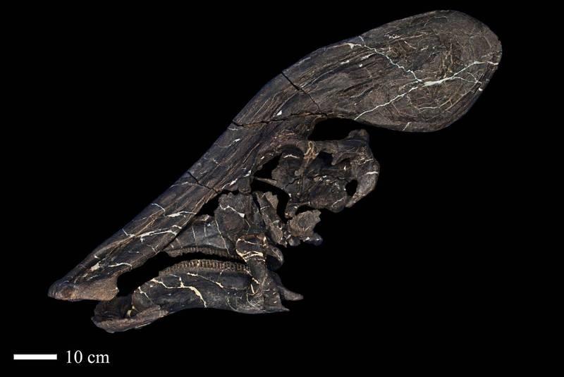 墨西哥國立人類暨歷史研究學院(INAH)13日展示「加羅氏字冠龍」部份化石。(路透)