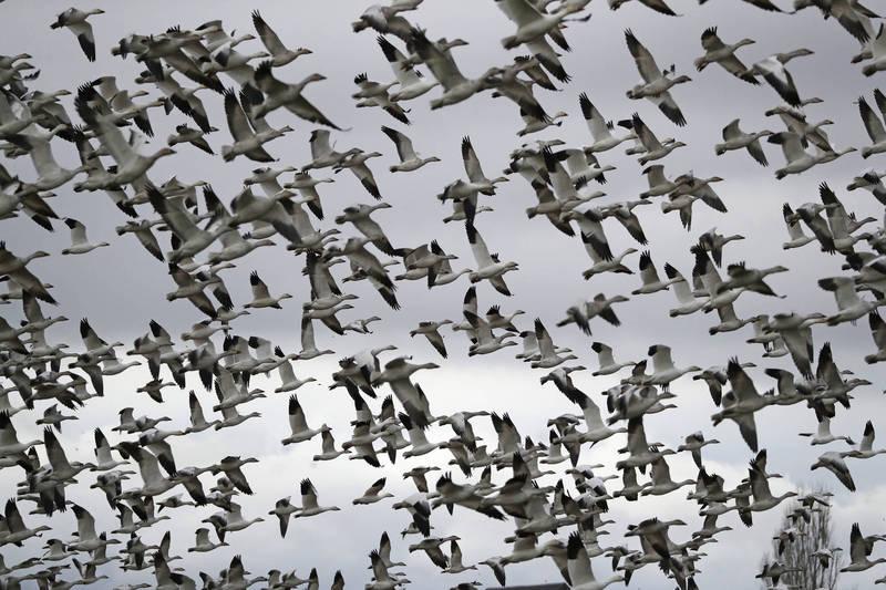 有科學團隊根據全球性賞鳥紀錄資料庫平台「eBird」,開發模式估算地球上約有500億隻鳥。(美聯社)