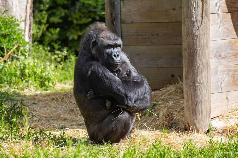 西部低地大猩猩寶寶哈薩尼與保姆凱拉相處融洽。(圖截取自Bristol Zoo Gardens Twitter)