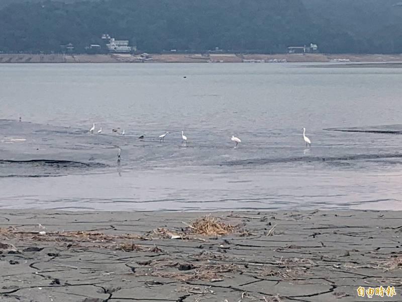 日月潭水位大幅下降,吸引許多水鳥前來覓食。(記者謝介裕攝)