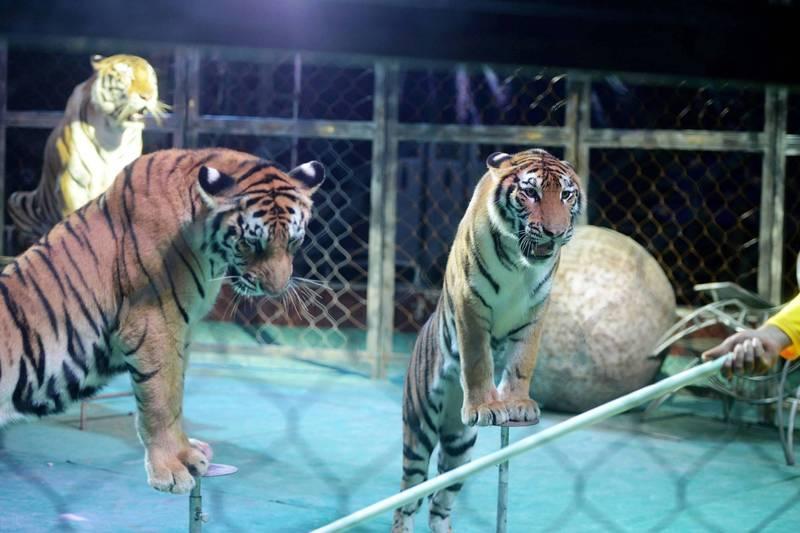 中國河南2隻馬戲團老虎成功跑出鐵籠脫逃,警方追蹤2隻老虎的動向並相繼將牠們擊斃。中國馬戲團示意圖。(法新社檔案照)
