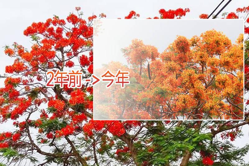 田尾鄉前鄉代會副主席黃坤煌說,今年花開茂密,但不知為何,顏色似乎比往年偏橘,就好像褪色了一樣。(本報合成)