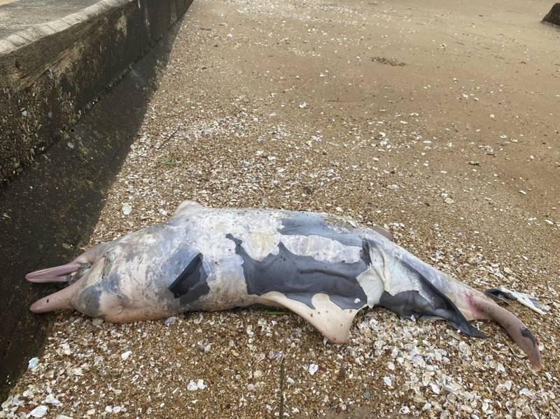 金門岸巡隊執行岸際巡查,在金沙鎮劉澳岸際發現1隻死亡中華白海豚的幼體。 (金門岸巡隊提供)