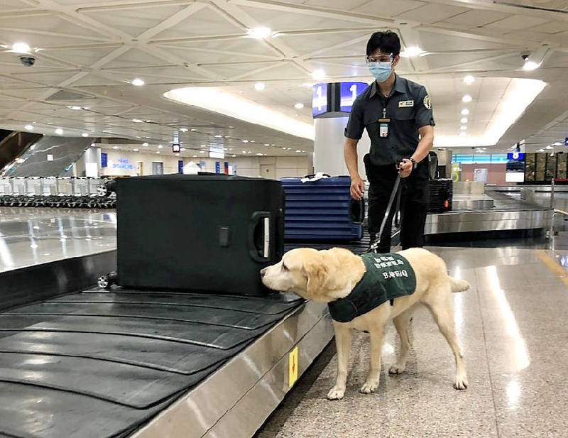 A sniffer dog inspects luggage on a conveyor belt at the arrivals hall of Taiwan Taoyuan International Airport on Saturday. Photo courtesy of Taiwan Taoyuan International Airport