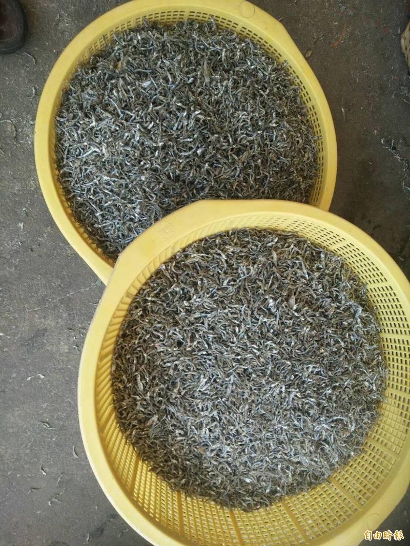 今年丁香漁受到疫情影響滯銷,價格也不看好。(記者劉禹慶攝)