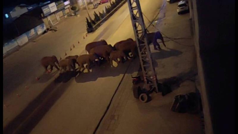 當前還在四處亂闖的象群成員有老有少,其中6頭是成年母象,另有3頭成年雄象、3頭亞成年及另外3頭小象。(路透)