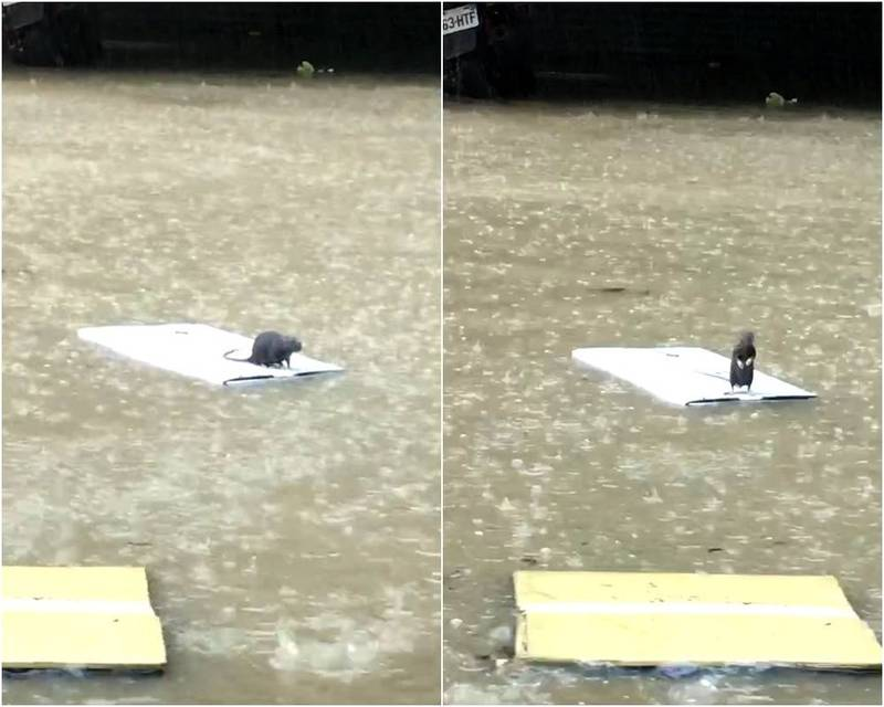 台北市今天出現淹水奇景,一隻老鼠站在塑膠板上避難,還不時站去來張望。(記者姚岳宏翻攝)