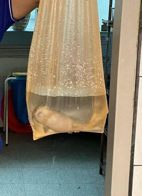 一名在信義區上班的網友表示,同事要下樓拯救被雨水淹沒的機車時,竟撈到了一條土虱。(圖取自「PTT」)