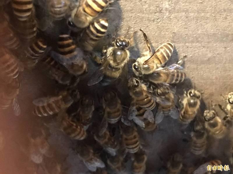 埃及一名父親將兒子綑綁在木棍上,在身上塗滿蜂蜜,任蜜蜂和蚊子叮咬。蜜蜂示意圖,和本新聞事件無關。(資料照)