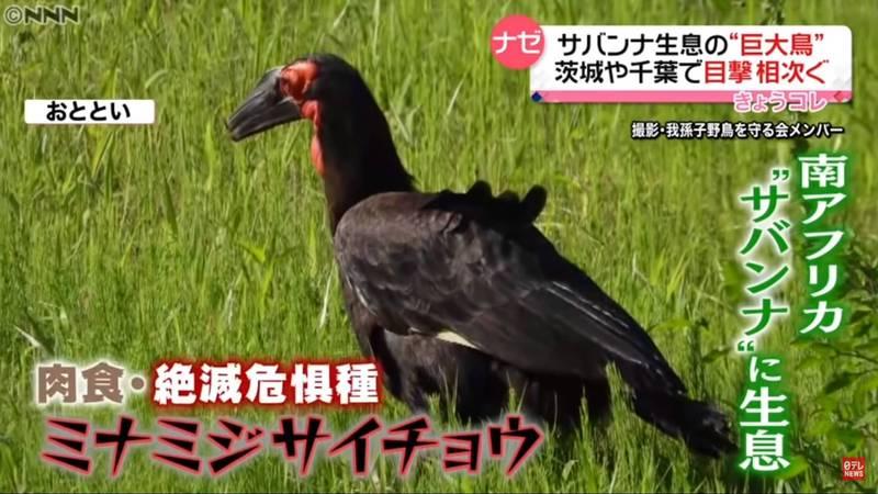 日本茨城一隻瀕危巨鳥「紅臉地犀鳥」脫逃2年後終於找到回家的路。(翻攝自YouTube)