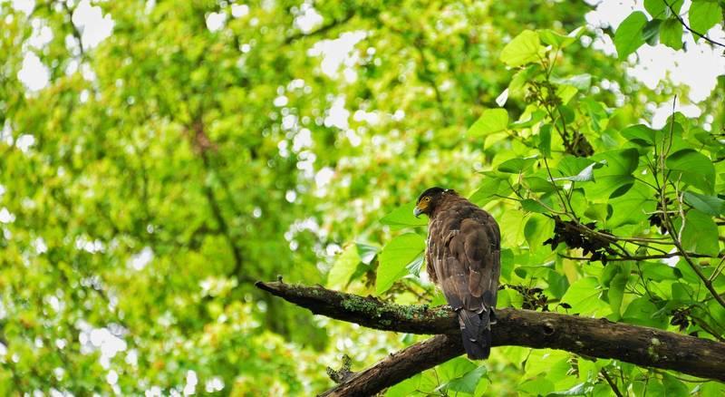 大冠鷲也出現在武陵農場。(武陵農場提供)
