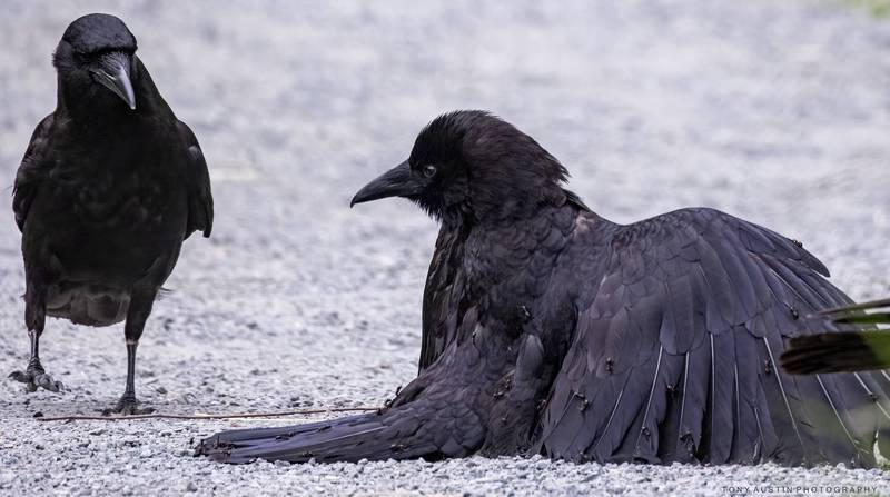 右邊的黑烏鴉正在進行「螞蟻浴」。(圖擷取自「Picture perfect Vancouver Island」臉書社團)