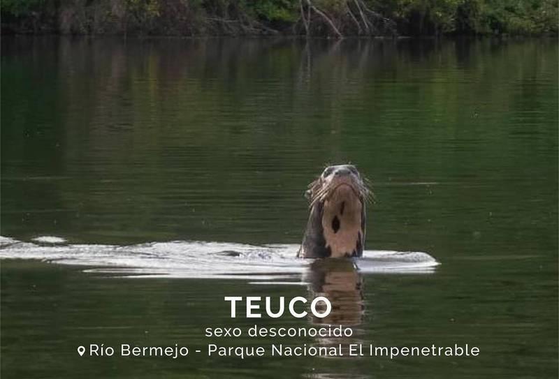 馬蒂諾日前在阿根廷北部一處國家公園執行巡邏工作時,意外捕捉到已消失40年的「巨獺」。(圖翻攝自Fundación Rewilding Argentina官方臉書)