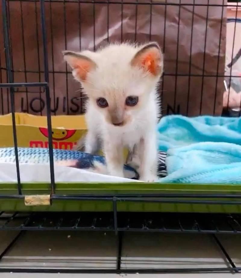 一隻白色幼貓日前卡在新竹市民生路兩棟建築物牆內,獲救後美照曝光。(圖擷取自新竹市浪愛傳遞貓狗tnvr協會臉書)