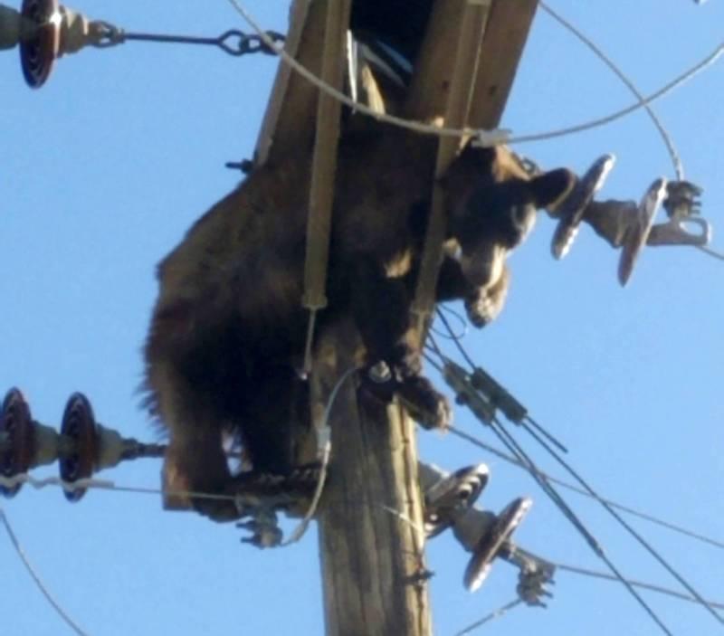 美國亞利桑那州週一傳出1隻熊受困電線桿。(美聯社)