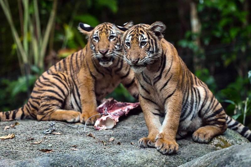 印度当局现全面关闭境内所有老虎保护区,避免疫情对野生动物族群带来浩劫。(法新社)(photo:LTN)