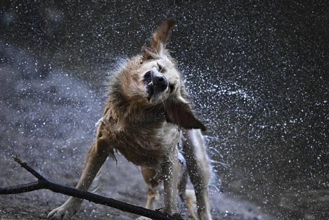 美國麻薩諸塞州1隻黃金獵犬瓦力前陣子在希克里山湖游泳時,突然有隻土撥鼠爬上背部,但牠非常淡定,瞬間化身另類水上計程車「載客」,讓飼主大吃一驚。圖僅示意,與本文無關。(美聯社)