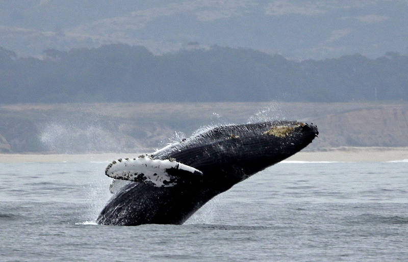 The local police said that it is currently impossible to determine the species of the whale attacked in the incident, but it is most likely the humpback whale known for its