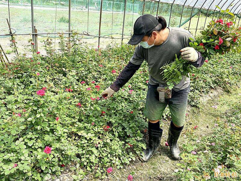A horticulturist in Nantou County on Tuesday removes roses that cannot be sold. Photo: Tung Chen-kuo, Taipei Times