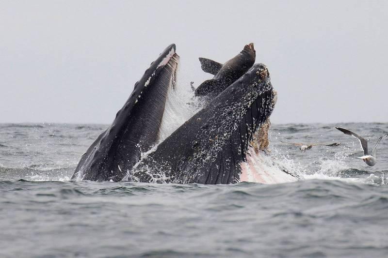 美國男子在潛水捕抓龍蝦時,竟意外被座頭鯨吞進嘴裡,幸好之後又被吐出來撿回一命。圖為座頭鯨捕食時差點吞下海獅。(法新社)