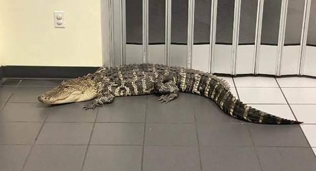 美國佛羅里達州赫爾南多郡一處郵局,近日遭鱷魚闖入大廳逛爽爽。(圖擷自Hernando County Sheriff's Office臉書)