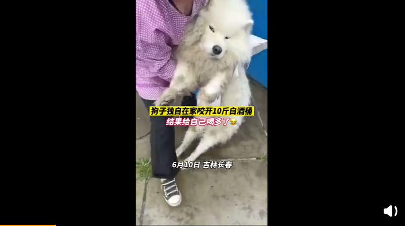 中國近日發生一起狗狗誤喝大量白酒的意外。(圖擷取自微博)