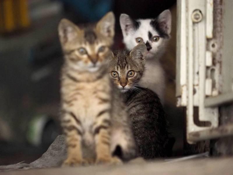 日男疑患「動物囤積症」,在家超量繁殖逾250隻貓。示意圖,非當事貓隻。(歐新社資料照)