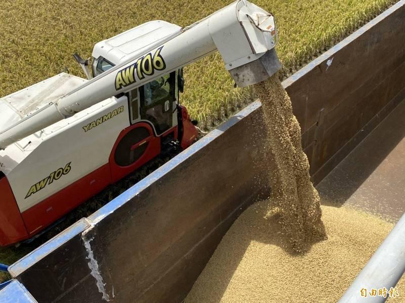 台東縱谷一期稻入收割期,農民忙收成。(記者陳賢義攝)