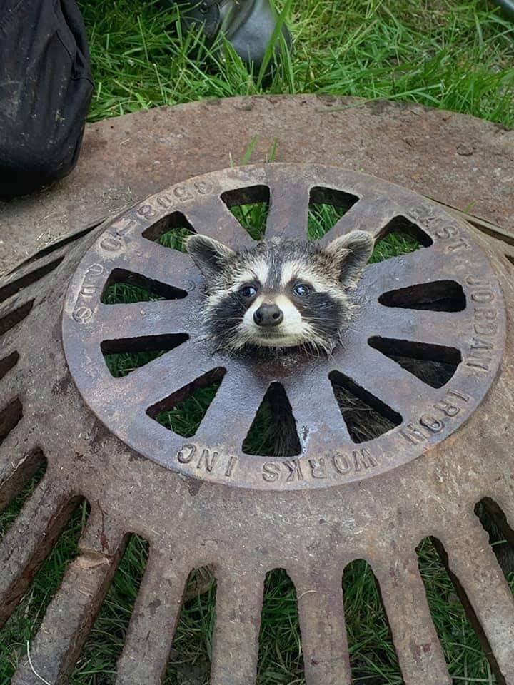 美國小浣熊的頭被卡在水溝蓋上面動彈不得,只能用水汪汪大眼睛向人類求救。(圖擷自Harrison Township Firefighters Local 1737臉書)