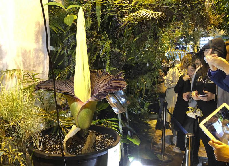 週日晚間到週一早上,數百甚至數千人在華沙植物園的溫室大排長龍爭睹屍花。(美聯社)