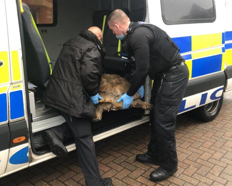 重達60公斤的泰坦離家出走竟沒有造成圍欄損壞。(圖擷取自Twitter/Ipswich Police)