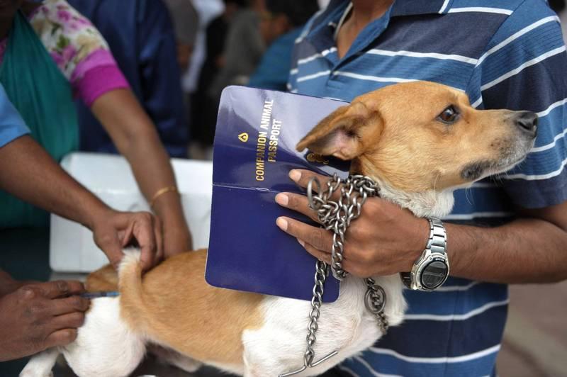 為預防狂犬病,美國宣布將暫緩禁止113國的犬隻進口。圖為狗接種狂犬病疫苗。(法新社)
