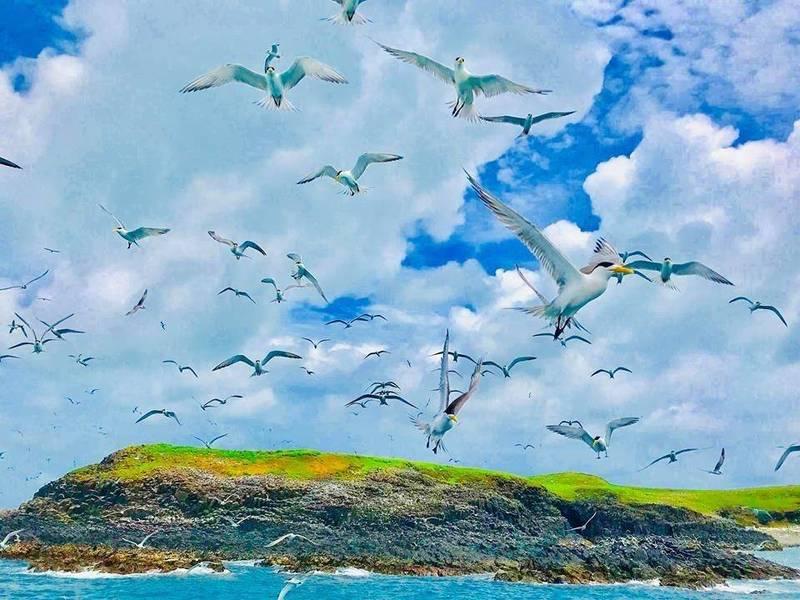 燕鷗在人為干擾較少的情況下,快樂飛翔在無人嶼上空。(銀海鄭文旗提供)
