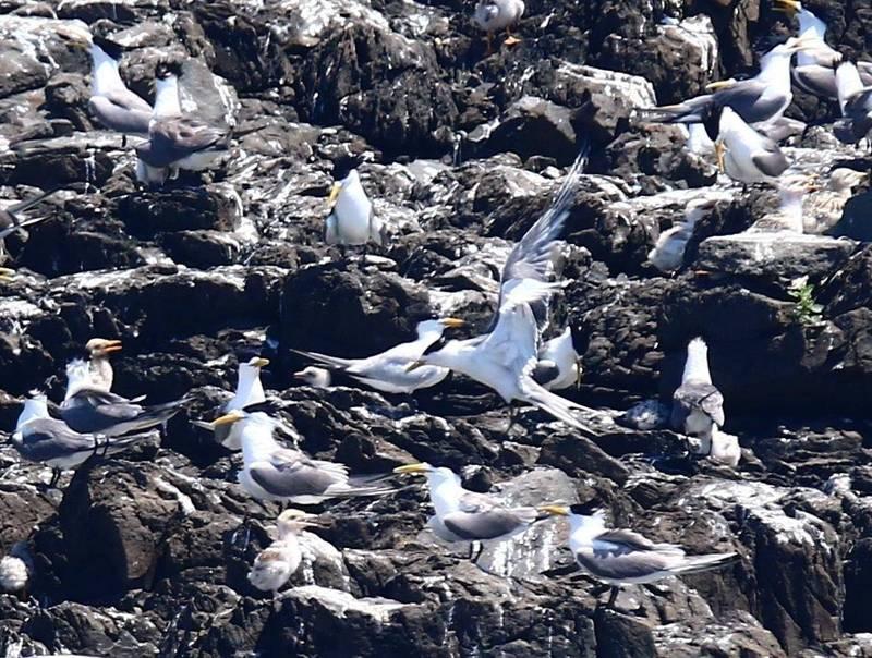 過境燕鷗在無人島上,棲息繁衍下一代。(銀海鄭文旗提供)