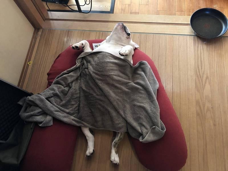 該隻鬥牛犬躺在地上睡覺。(圖擷取自「@hirausan」推特)